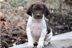 Picture of Moe - German Shorthaired Pointer Male