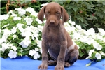 Picture of Panther - German Shorthaired Pointer Male