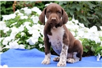Picture of Peanut - German Shorthaired Pointer Male