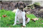 Picture of Milly - German Shorthaired Pointer Female