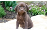 Picture of Binky - German Shorthaired Pointer Female