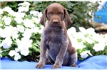 Picture of Preston - German Shorthaired Pointer Male