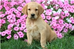 Picture of Hercules - Golden Lab Male