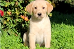 Picture of Scamper - Golden Lab Male