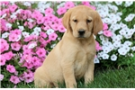 Picture of Hillary - Golden Lab Female
