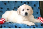 Picture of Diamond - Golden Retriever Female