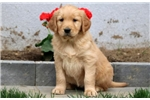 Picture of Polly - Golden Retriever Female