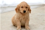 Picture of Moose - Golden Retriever Male