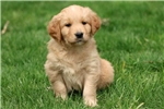 Picture of Pinky - Golden Retriever Female