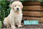 Picture of Charlie - Golden Retriever Male