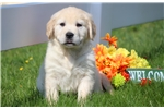 Picture of Mighty - Golden Retriever Male