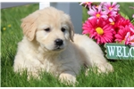 Picture of Maddie - Golden Retriever Female