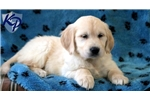 Picture of Devin - Golden Retriever Male