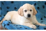 Picture of Dixie - Golden Retriever Female