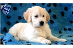Picture of Daisy - Golden Retriever Female
