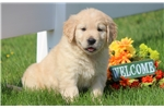 Picture of Miles - Golden Retriever Male