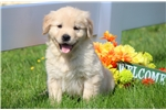 Picture of Maxwell - Golden Retriever Male