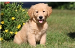 Picture of Pippy - Golden Retriever Male