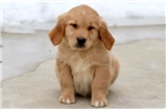 Picture of Monty - Golden Retriever Male