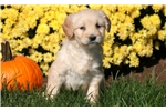 Picture of Sidney - Mini Goldendoodle Female