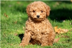 Picture of Harley - F1b Mini Goldendoodle Male