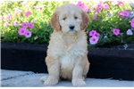 Picture of Misty - F1b Mini Goldendoodle Female