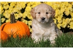 Picture of Sierra - Mini Goldendoodle Female
