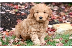 Picture of Joey - Mini Goldendoodle Male