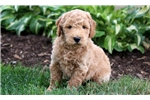 Picture of Mason - F1b Mini Goldendoodle Male