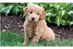 Picture of May - F1b Mini Goldendoodle Female