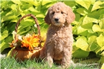 Picture of Mimi - F1b Mini Goldendoodle Female