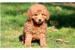 Picture of Huey - F1b Mini Goldendoodle Male