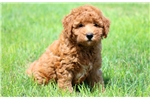 Picture of Jumper - F1b Mini Goldendoodle Male