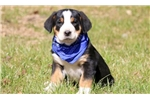 Picture of Buckwheat - Greater Swiss Mountain Dog Male