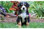 Picture of Darwin - Greater Swiss Mountain Dog Male