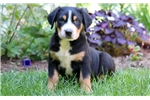 Picture of Dart - Greater Swiss Mountain Dog Male