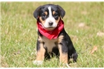 Picture of Betty Boop - Greater Swiss Mountain Dog Female