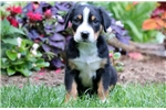 Picture of Deuce - Greater Swiss Mountain Dog Male