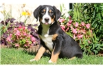 Picture of Dribble - Greater Swiss Mountain Dog Male