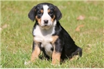 Picture of Bell - Greater Swiss Mountain Dog Female