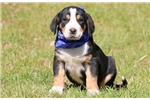 Picture of Banjo - Greater Swiss Mountain Dog Male