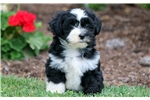 Picture of Frankie - Havanese Male