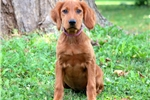 Picture of Candy - Irish Setter Female