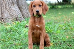 Picture of Carter - Irish Setter Male