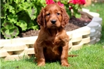 Pepper - Irish Setter Male | Puppy at 8 weeks of age for sale