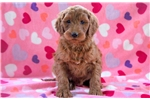Picture of Tinkerbell - Irishdoodle Female