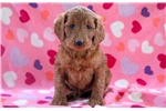 Picture of Tabby - Irishdoodle Female