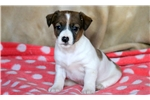Picture of Fifi - Jack Russell Female