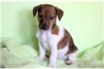 Picture of Mikey - Jack Russell Male