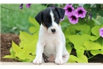 Picture of Gracie - Jack Russell Female
